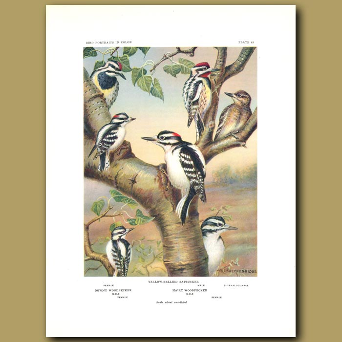 Antique print. Yellow-Bellied Sapsucker , Downy Woodpecker And Hairy Woodpecker