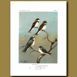 Bank Swallow, Roughw-Winged Swallow And Tree Swallow