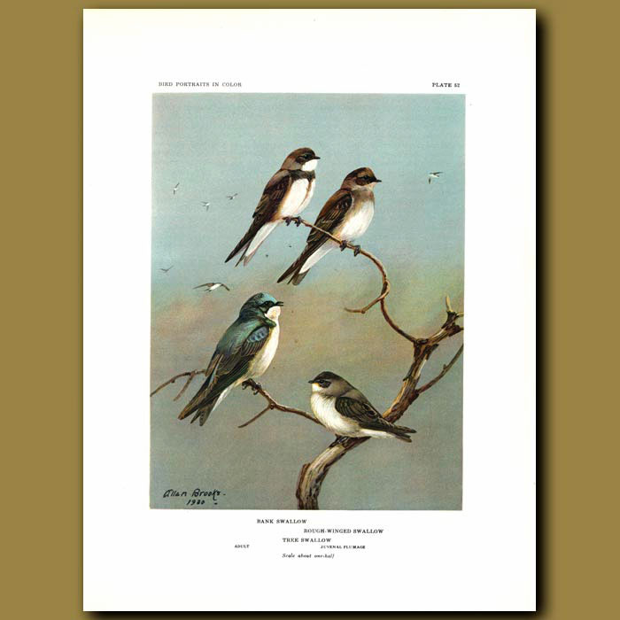 Antique print. Bank Swallow, Roughw-Winged Swallow And Tree Swallow
