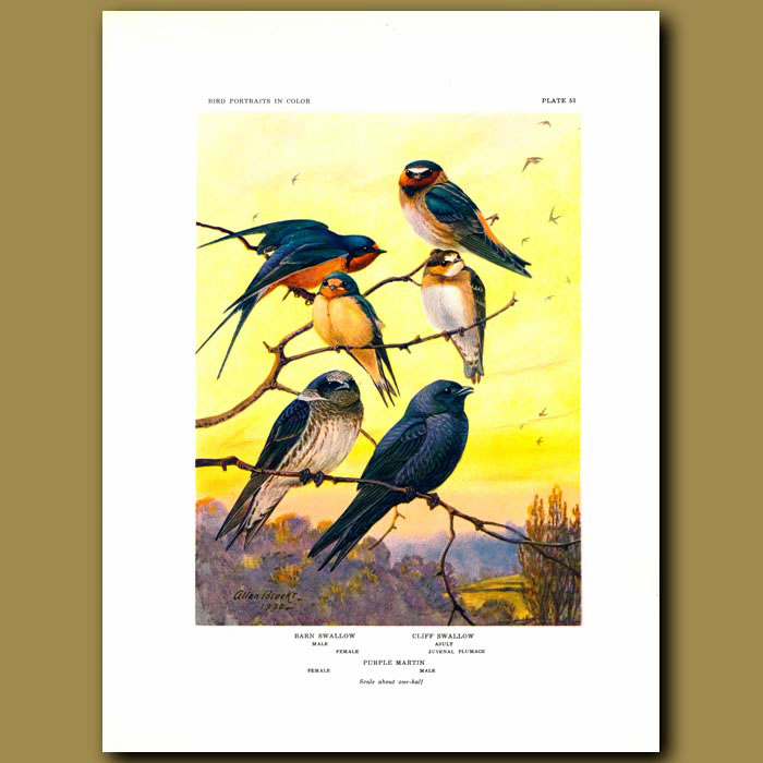 Antique print. Barn Swallow, Cliff Swallow And Purple Martin