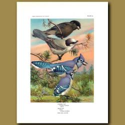 Canada Jay And Blue Jay