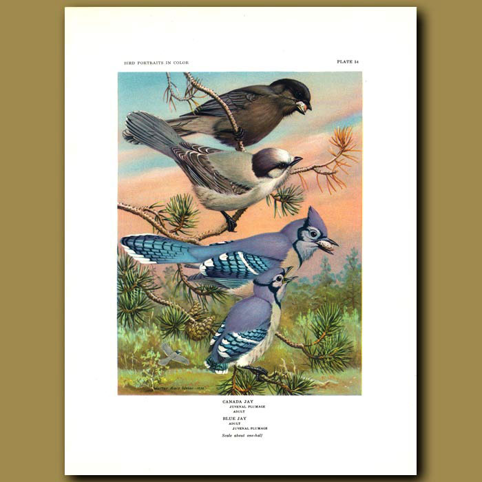 Antique print. Canada Jay And Blue Jay