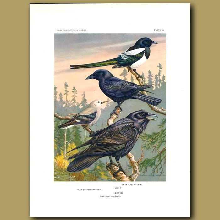Antique print. Clark's Nutcracker, American Magpie And Raven