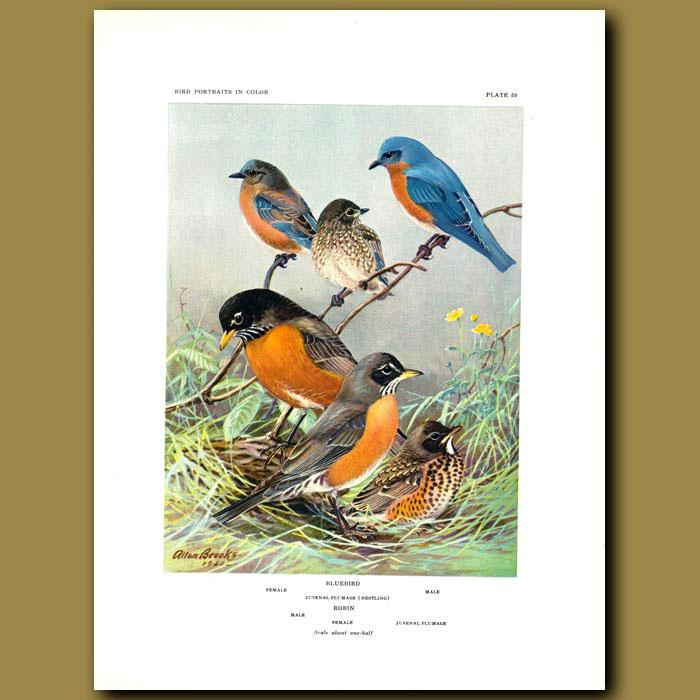 Antique print. Bluebird And Robin