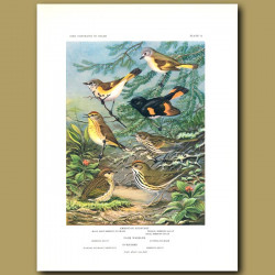 American Redstart, Palm Warbler And Oven Bird