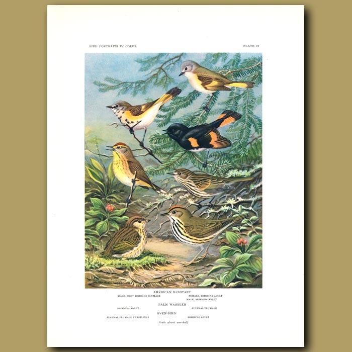 Antique print. American Redstart, Palm Warbler And Oven Bird