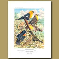 Yellow-Headed Blackbird And Red-Winged Blackbird