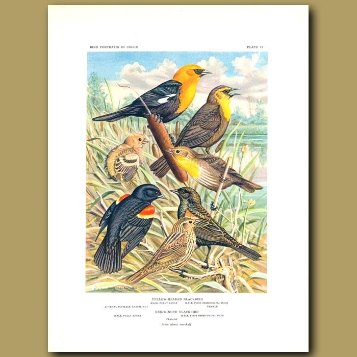 Antique print. Yellow-Headed Blackbird And Red-Winged Blackbird