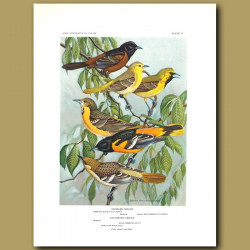 Orchard Oriole And Baltimore Oriole