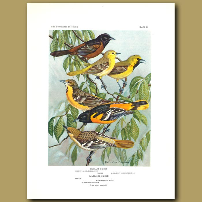 Antique print. Orchard Oriole And Baltimore Oriole