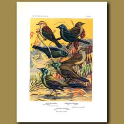 Rusty Blackbird, Brewer's Blackbird And Bronzed Grackle