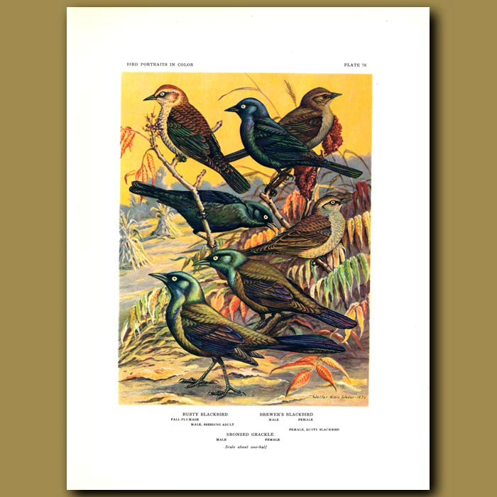 Antique print. Rusty Blackbird, Brewer's Blackbird And Bronzed Grackle