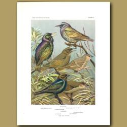 Starling And Cowbird