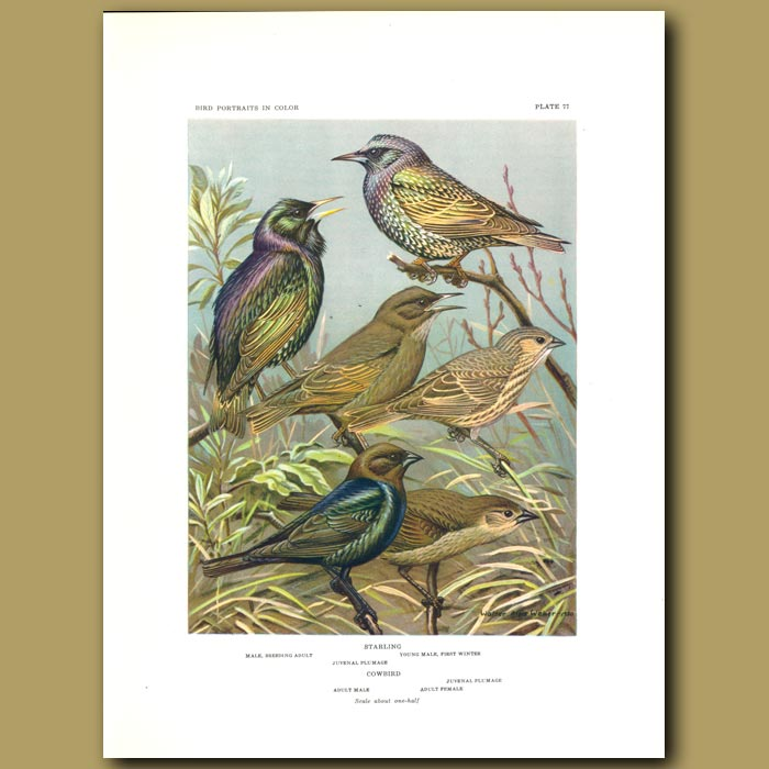 Antique print. Starling And Cowbird
