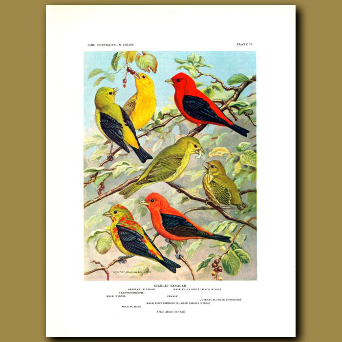 Antique print. Scarlet Tanager