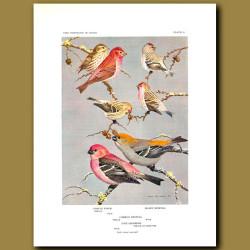 Purple Finch, Hoary Redpoll, Common Redpoll And Pine Grosbeak