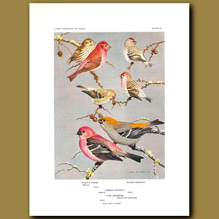 Antique print. Purple Finch, Hoary Redpoll, Common Redpoll And Pine Grosbeak