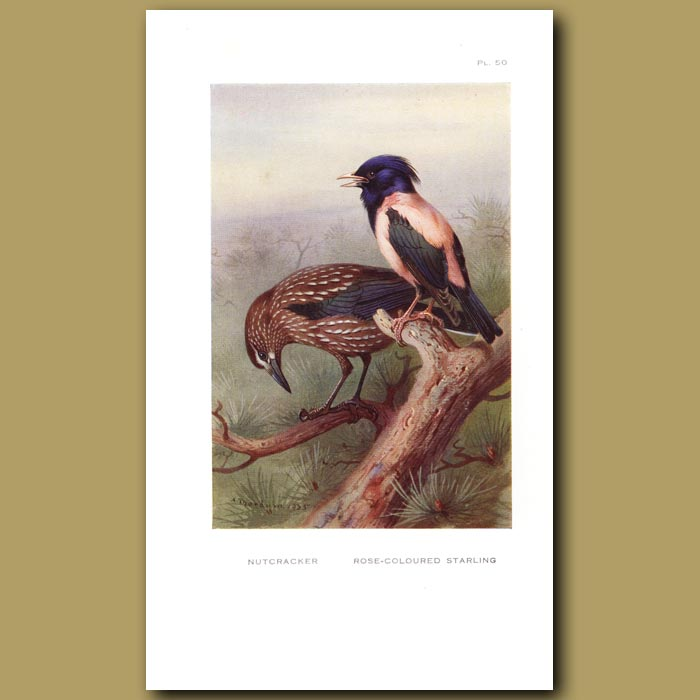Antique print. Nutcracker And Rose-Coloured Starling