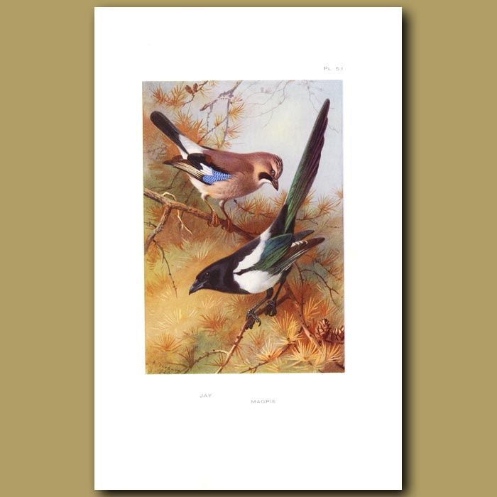Antique print. Jay And Magpie