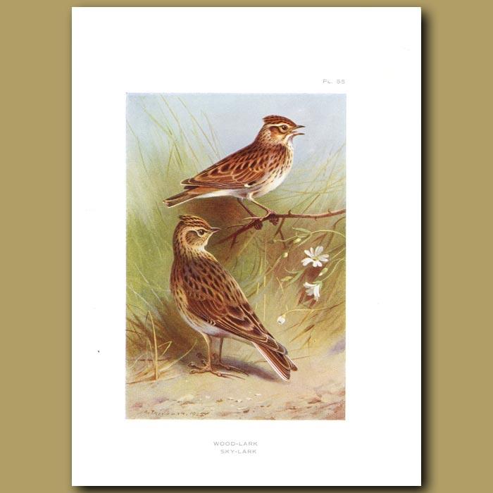 Antique print. Wood Lark and Sky Lark