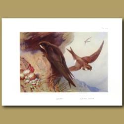 Swift And Alpine Swift