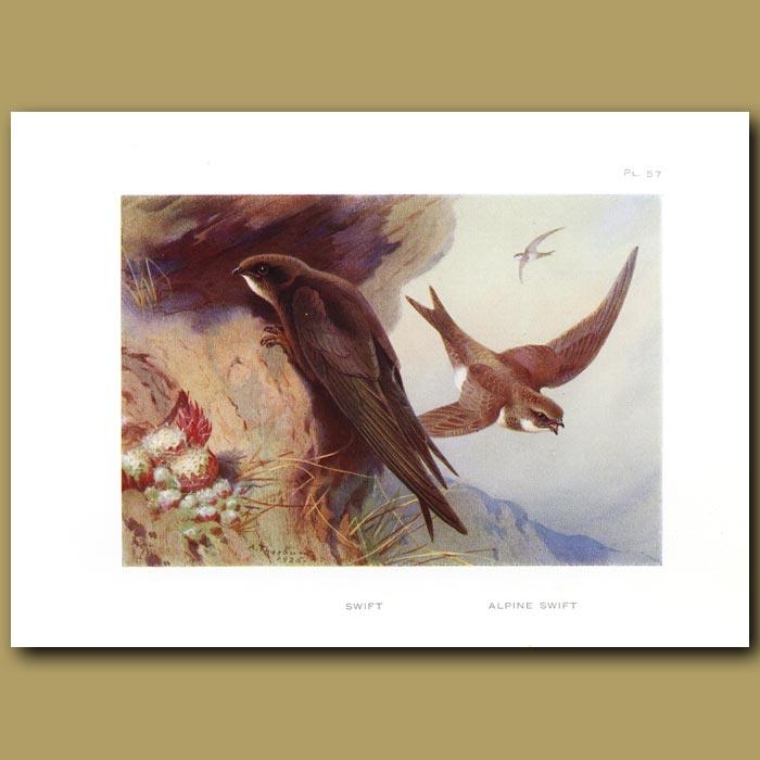 Antique print. Swift And Alpine Swift