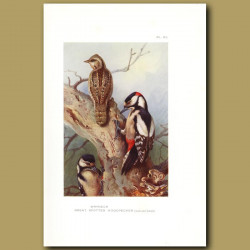 Wryneck And Great Spotted Woodpecker