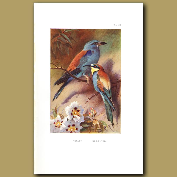 Antique print. Roller And Bee-Eater