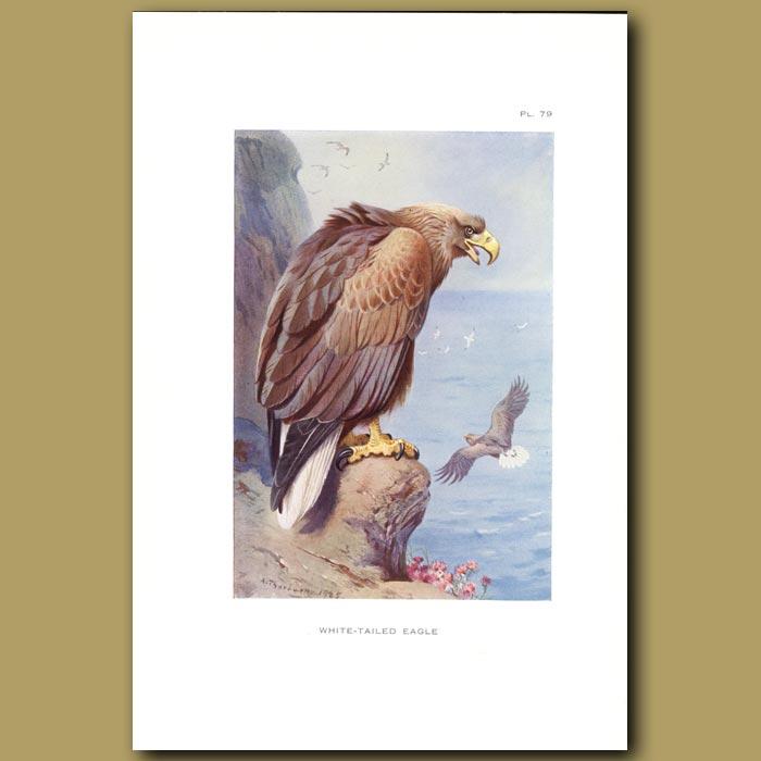 Antique print. White-Tailed Eagle