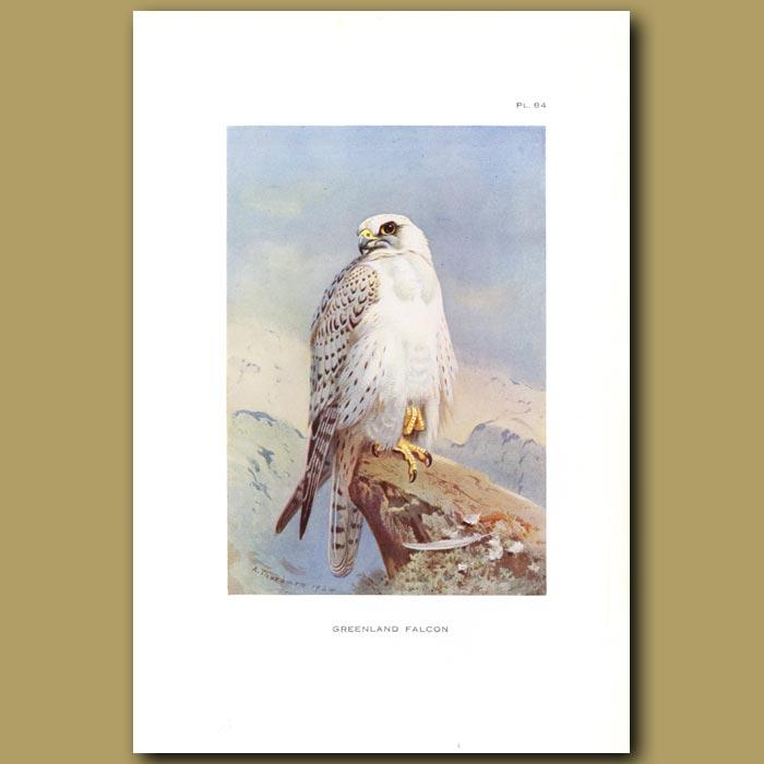 Antique print. Greenland Falcon