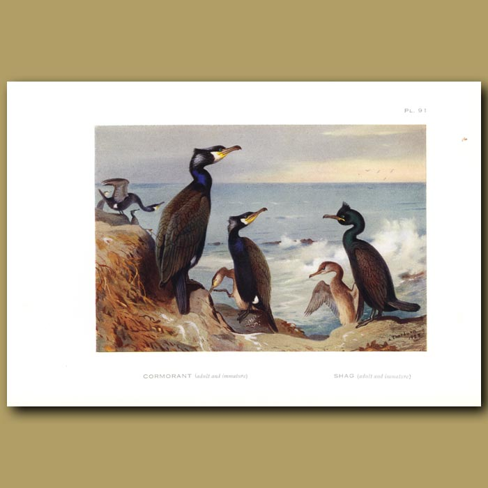 Antique print. Cormorant And Shag