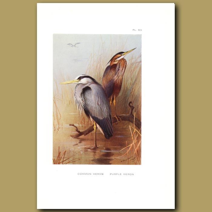 Antique print. Common Heron And Purple Heron