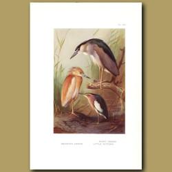 Squacco Heron, Night Heron And Little Bittern