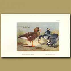 White-Fronted Goose And Bernacle Goose