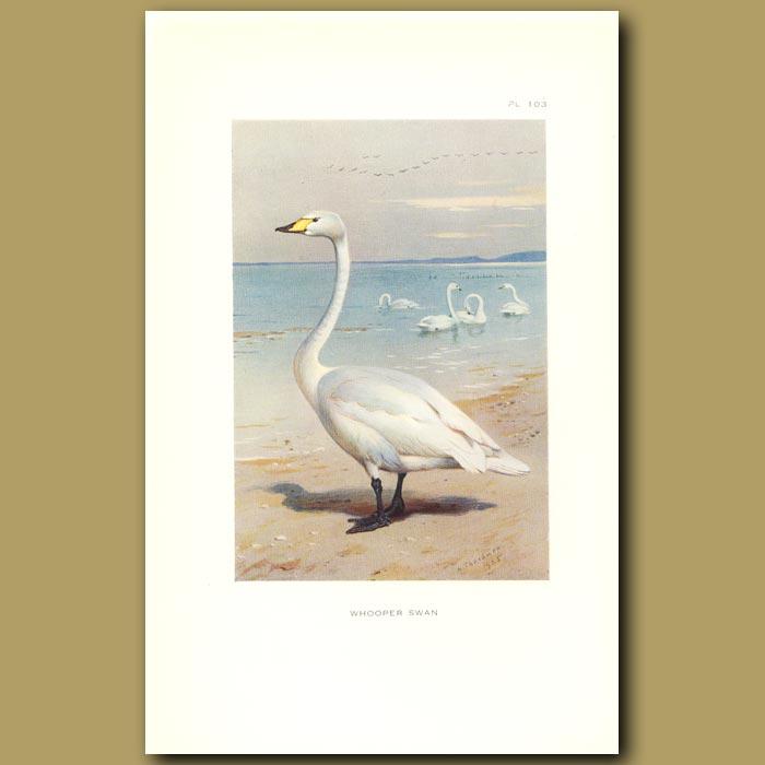 Antique print. Whooper Swan