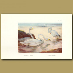 Bewick's Swan And Snow Goose