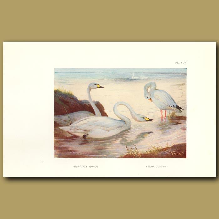 Antique print. Bewick's Swan And Snow Goose