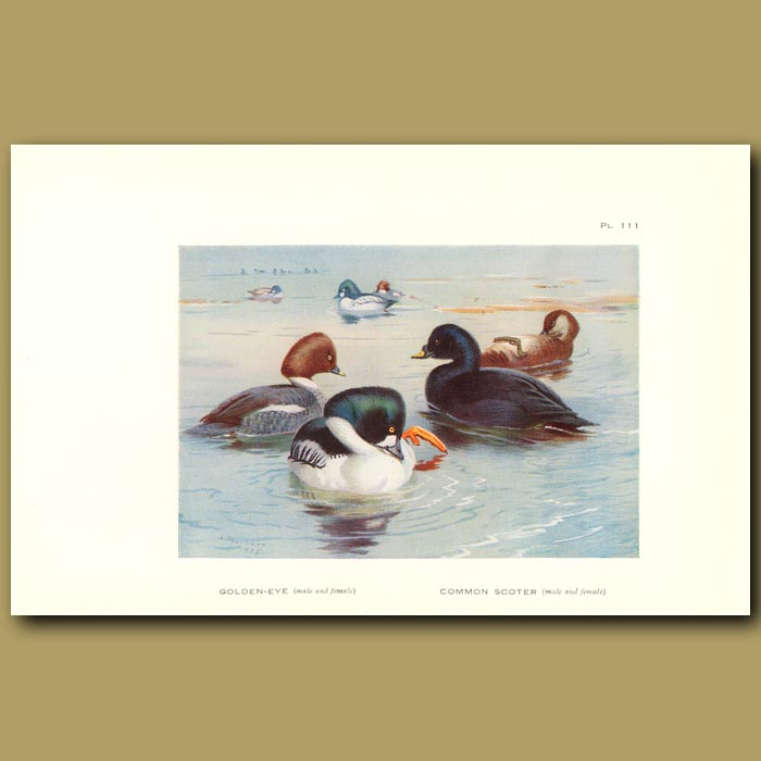 Antique print. Golden Eye And Common Scoter