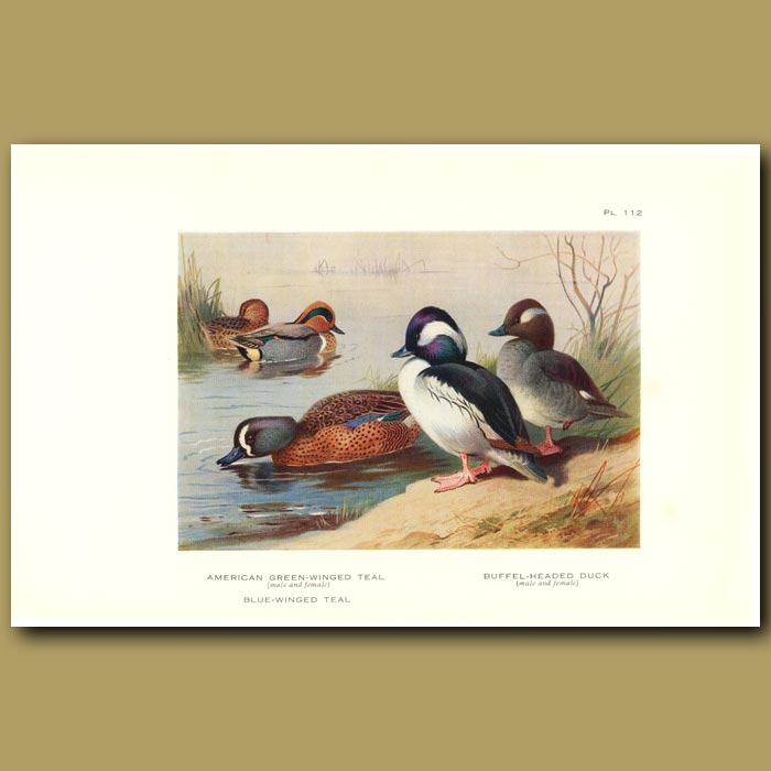 Antique print. American Green-Winged Teal And Buffel-Headed Duck