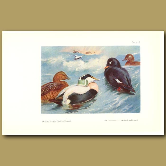 Antique print. Eider Duck, Velvet Scoter