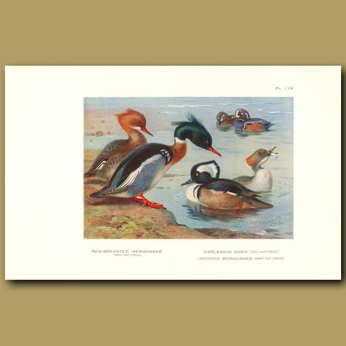 Antique print. Red-Breasted Merganser, Harlequin And Hooded Merganser