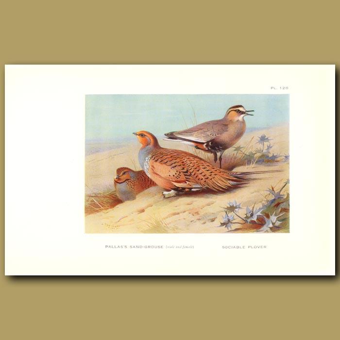 Antique print. Pallas's Sand Dove And Sociable Plover