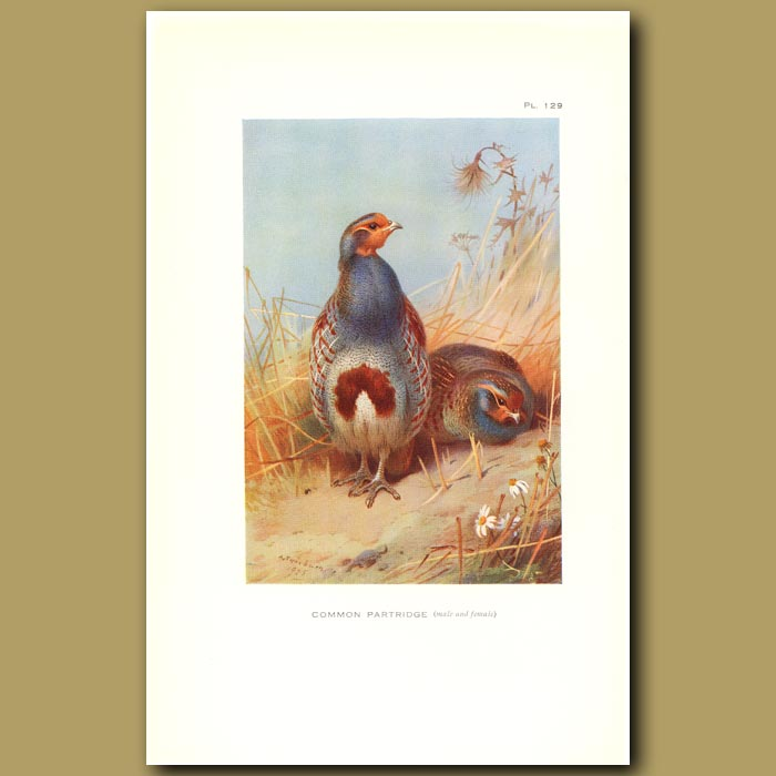 Antique print. Common Partridge