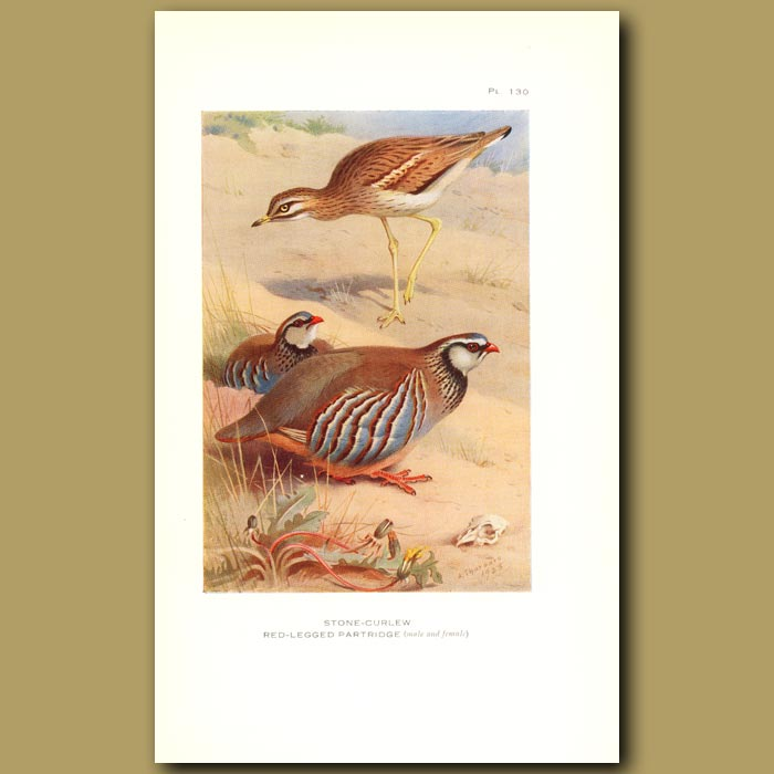 Antique print. Stone Curlew And Red-Legged Partridge