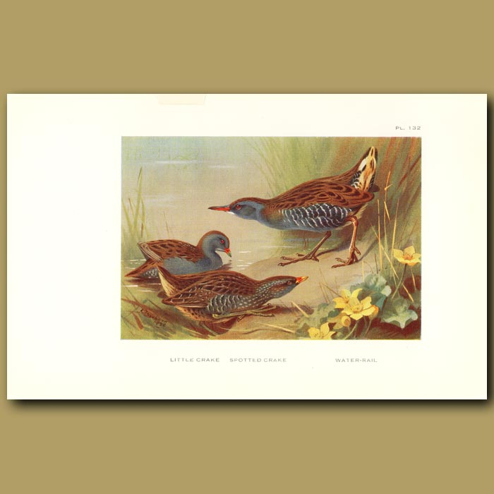 Antique print. Little Crake, Spotted Crake And Water Rail