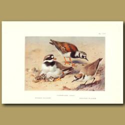 Ringed Plover, Turnstone And Kentish Plover