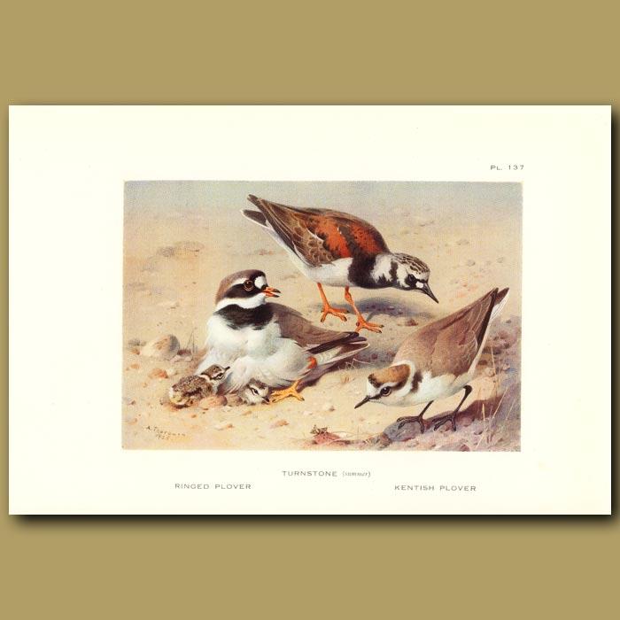Antique print. Ringed Plover, Turnstone And Kentish Plover