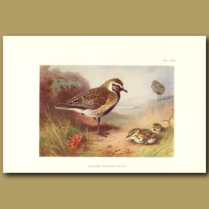 Antique print. Golden Plover