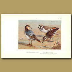 Grey Phalarope, Killdeer Plover And Red-Necked Phalarope