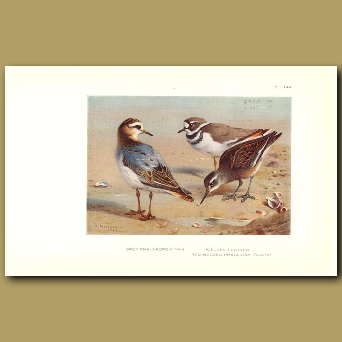 Antique print. Grey Phalarope, Killdeer Plover And Red-Necked Phalarope